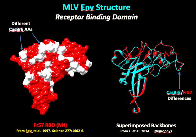 MLV ENV Structure.png
