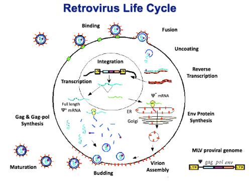 Retrovirus Life Cycle