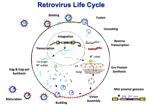 Retrovirus Life Cycle